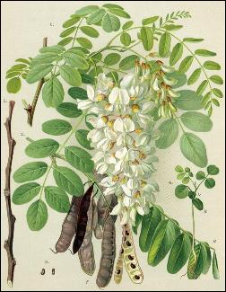 robinia seeds